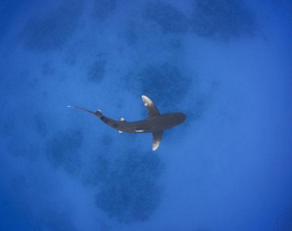 Мтел и Discovery тръгват по следите на акулите