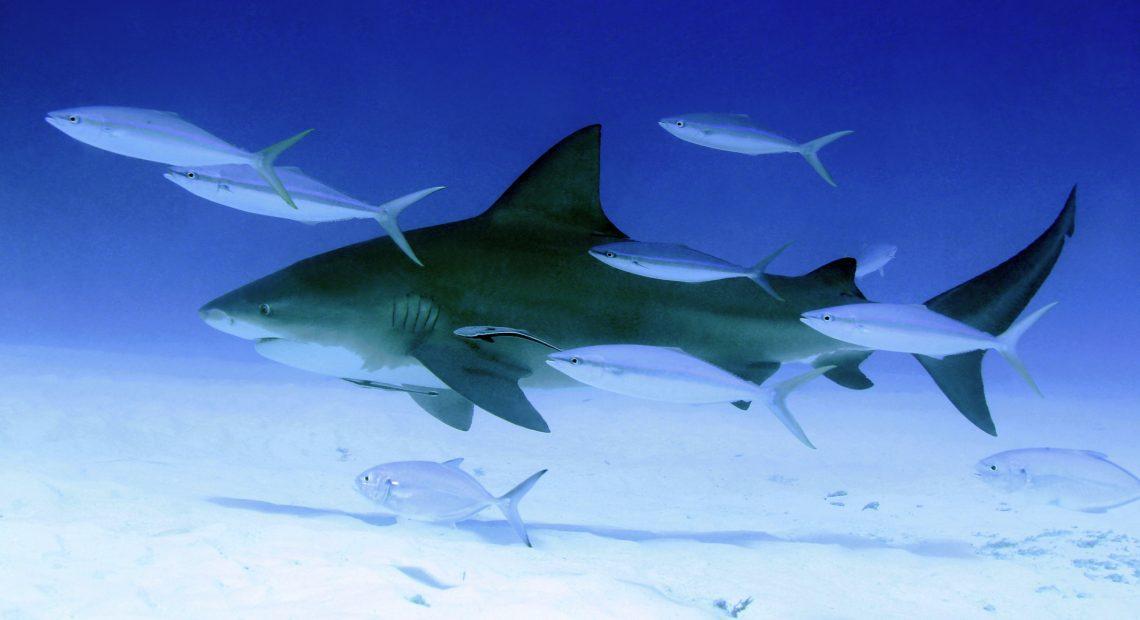 16 факта за акулите